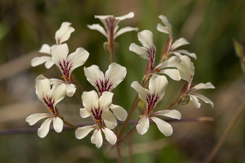 Pelargoniumfissifolium0404212.jpg