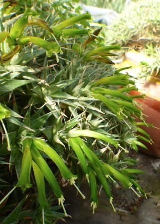 Abromeitiellabrevifolia.jpg