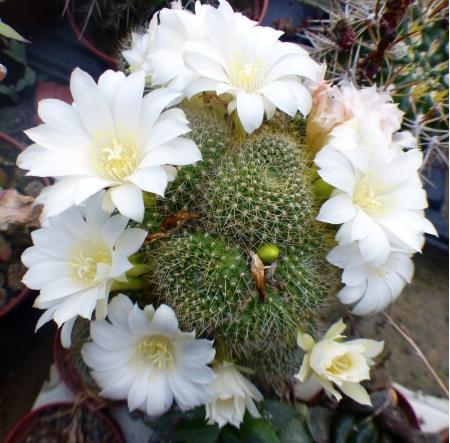 Rebutiakrainzianaalbiflora.jpg