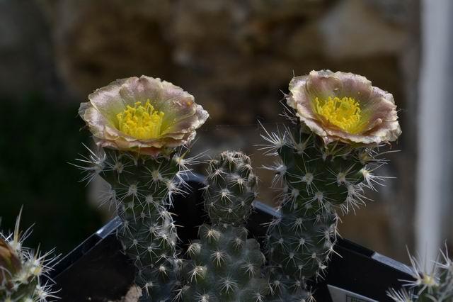 Pterocactus_australis_Tres_Cerros_140m_RH_3754_cl5_RH13_Aa1.jpg