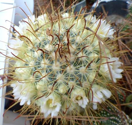 Mammillariacowperae.jpg