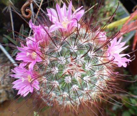 Mammillariacowperae2.jpg