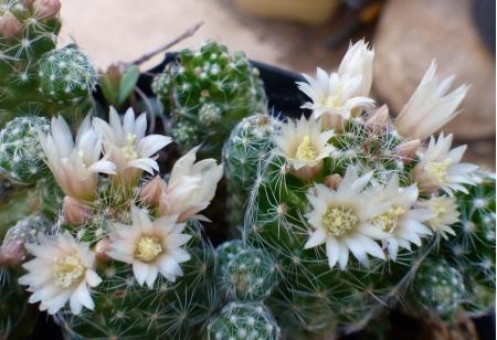 Mammillariagracilismini.jpg
