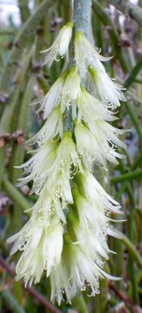 Rhipsalislumbricoides.jpg