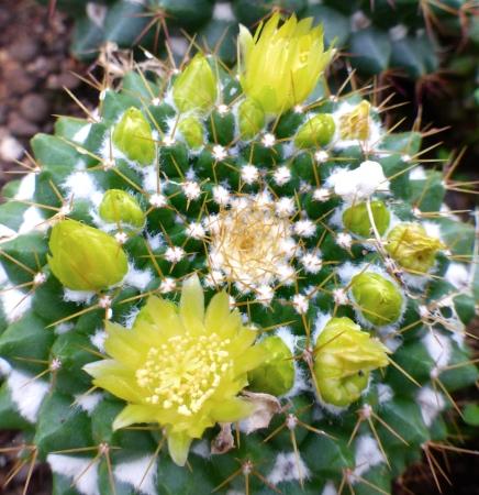 Mammillariamarksiana.jpg