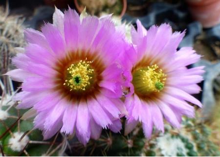 Echinocereusoklahomensis.jpg