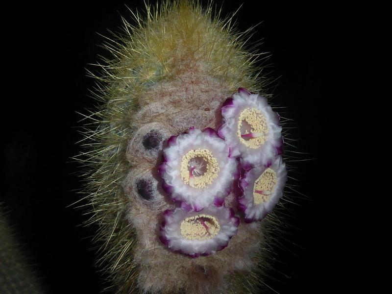 Micranthocereuspurpureus.JPG