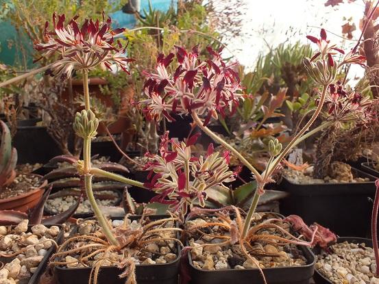 Pelargonium_auritum_DSCF0599.jpg