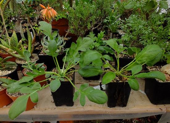 Pelargonium_auritum_DSCF6621r.jpg