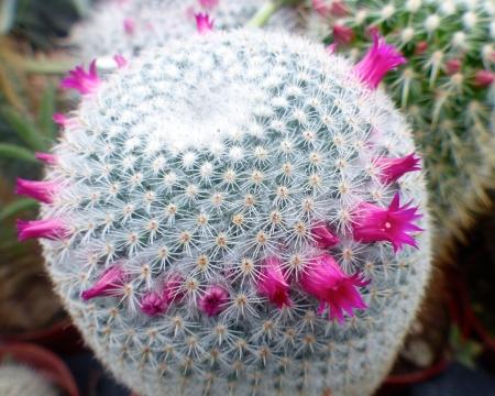 Mammillariasupertexta.jpg