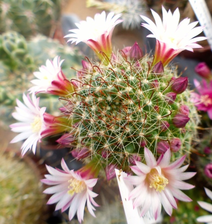 Mammillariawildiiblanc.jpg