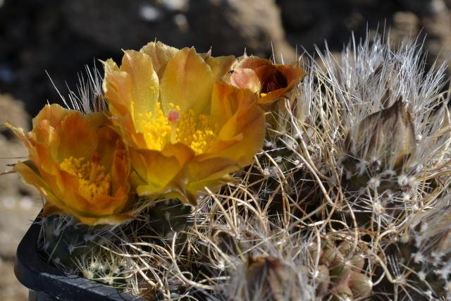 Pterocactus_australis_Corpen_Aike_100m_RH_3756_cl11_RH12_Aa2.JPG