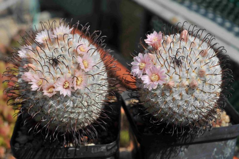 Mammillaria_perezdelarosae_07.jpg