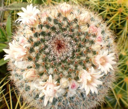 Mammillariaformosa.jpg