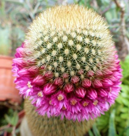 Mammillariapilcayensis.jpg
