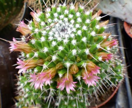 Mammillariapolyedra.jpg