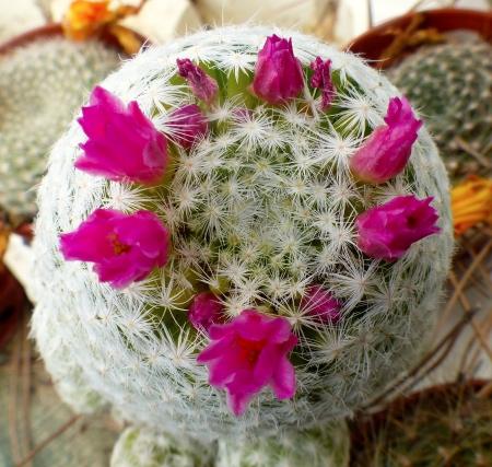 Mammillariahumboldtii.jpg