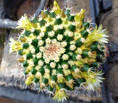 Mammillariaeichlamii.jpg