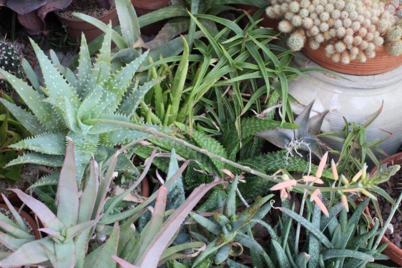 AloeXspinosissima2014052.jpg