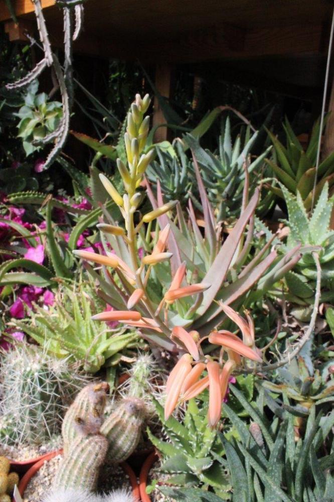 AloeXspinosissima2014053.jpg