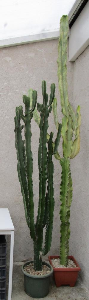 CF-Euphorbia-erythrea-variegata.jpg
