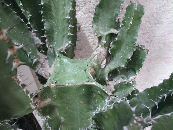 CF-Euphorbia-14ans.jpg
