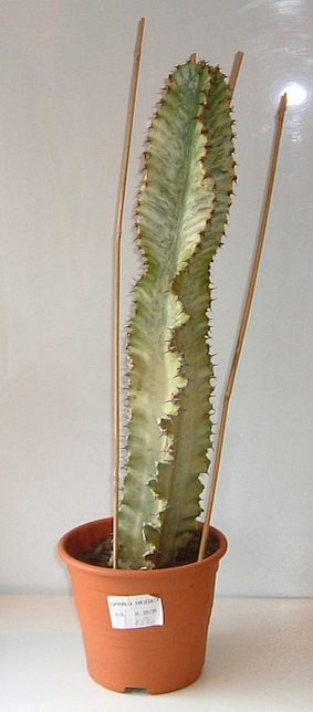 CF-Euphorbia.erythrea-variegata-11-janvier-2004.jpeg