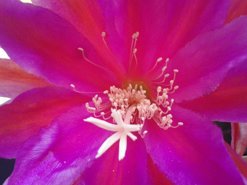 EpiphyllumBurningdream.jpg