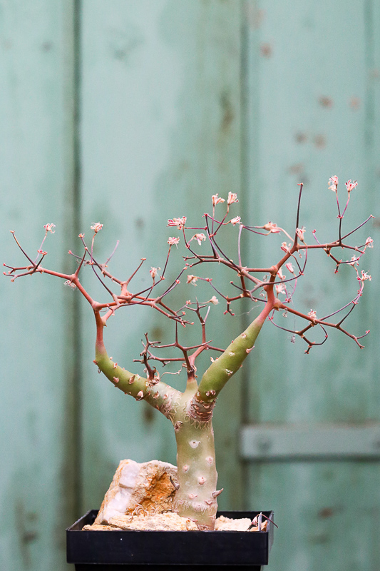 Pelargoniumcrithmifoliumprintemps.jpg
