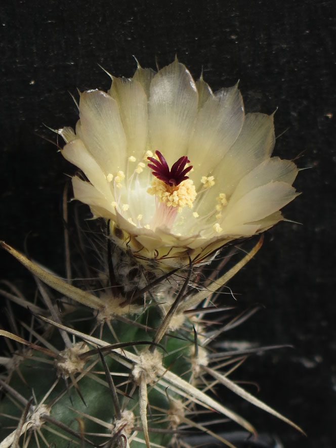 Austrocactuspatagonicus.JPG