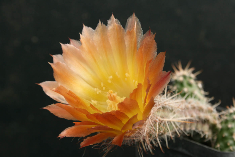 AustrocactusSAR1591.JPG