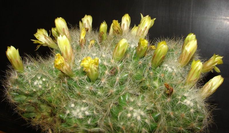 Mammillaria_baumii.jpg