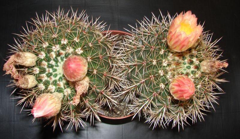 Notocactus_roseoluteus.jpg