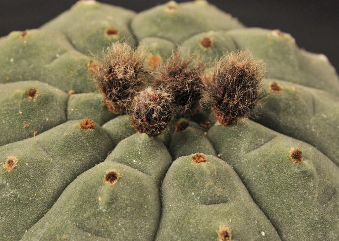 conseil d arrosage pour des cactus arros s jusqu ai maintenant. Black Bedroom Furniture Sets. Home Design Ideas