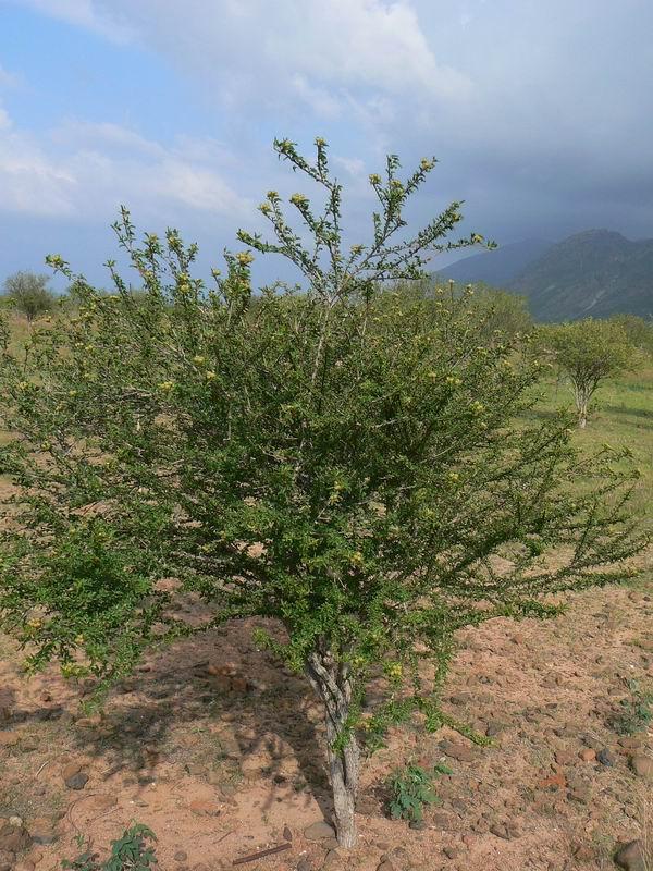 CrotonsocotranusE.SocotraP1170684.JPG