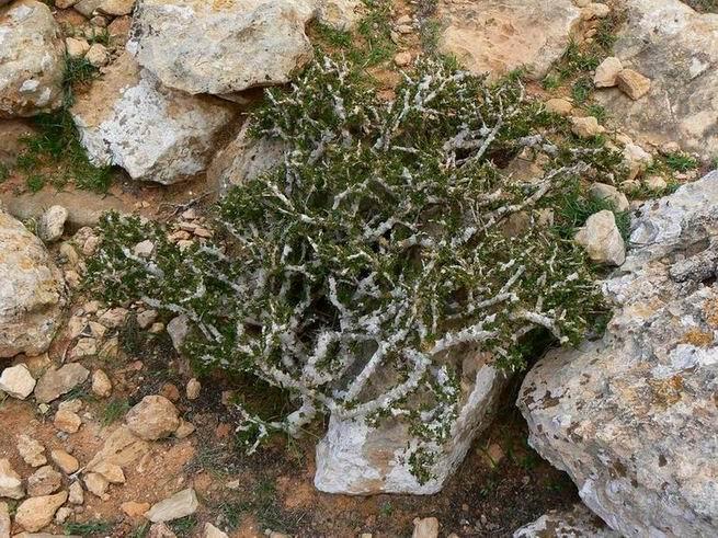 CrotonsocotranumJabalBuzairiP1230544.JPG