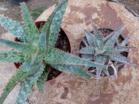 AloekellyGriffin2.jpg