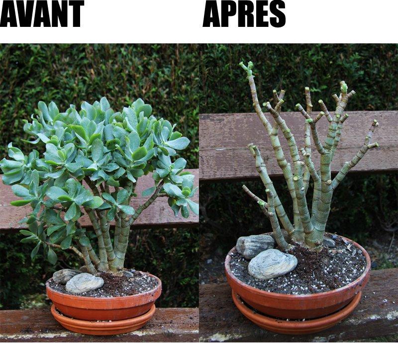 Crassula bonsa - Comment tailler un bonsai ...