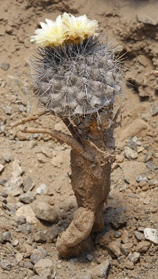 Copiapoamegarhizaparvula.jpg