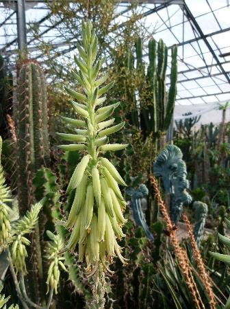 Aloesaudiarabicahampe.jpg