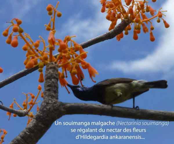 Nectarinia-souimanga.jpg