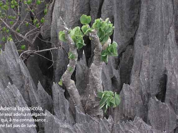Adenia-lapiazicola.jpg