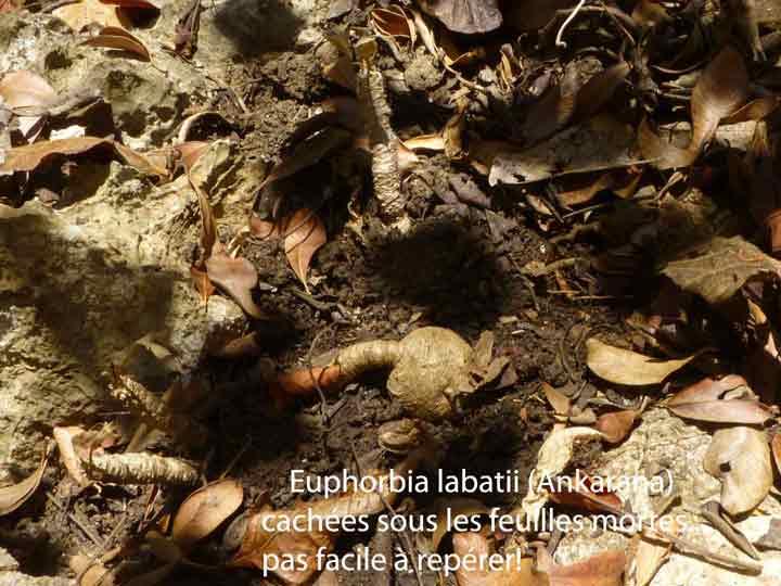 Euphorbia-labatii.jpg