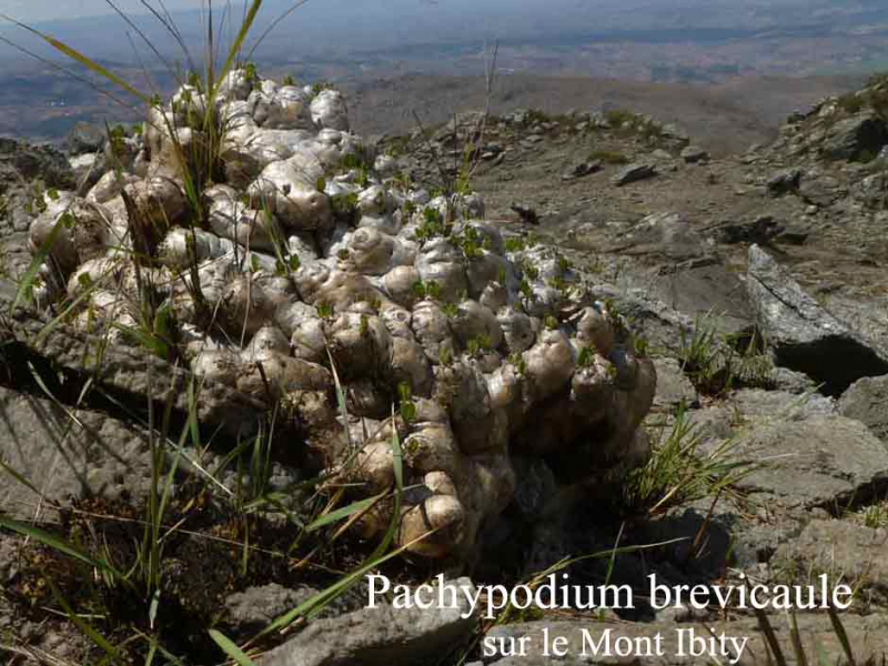 Pachypodium-brevicaule.jpg