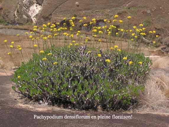 Pachypodium-densiflorum.jpg