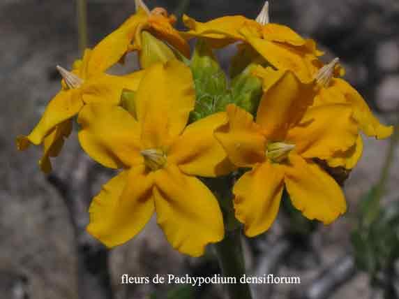 Pachypodium-densiflorum-fleurs.jpg