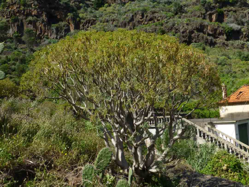 Euphorbia-piscatoria1.jpg