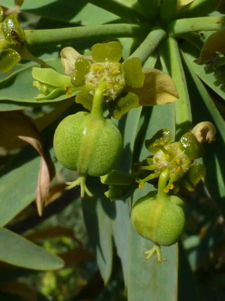 Euphorbia-piscatoria3.jpg