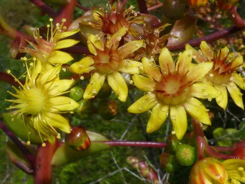 Aeonium-glutinosum-fleurs.jpg