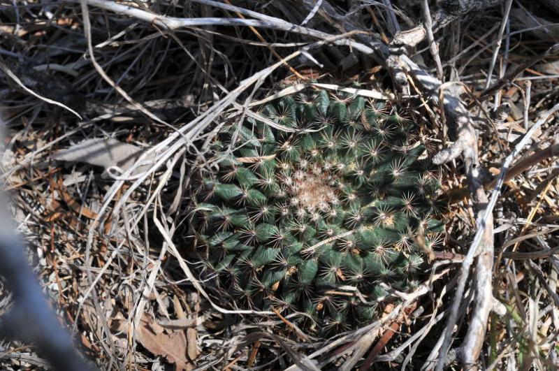 Mammillariaheyderissp.heyderi_1.JPG